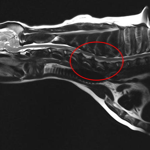 MRI image of Mojo's neck - circle highlights the discs compressing the spinal cord.