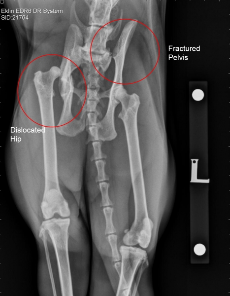 Radiograph of Pixie's injured pelvis.