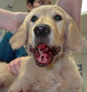 Golden Retriever Murphy with a badly wounded jaw