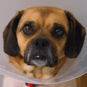 Barney Pug Beagle cross in cone
