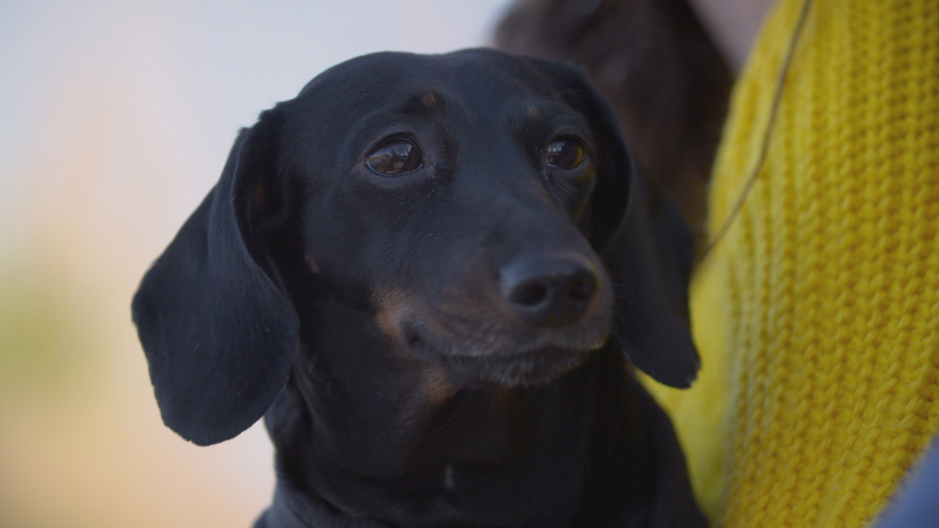 5 year old Dachshund patient on The Supervet