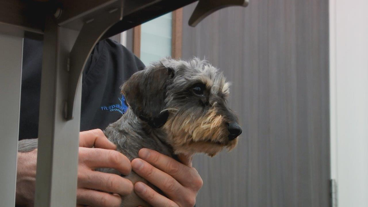 Wirehaired Dachshund Olive in consult on The Supervet