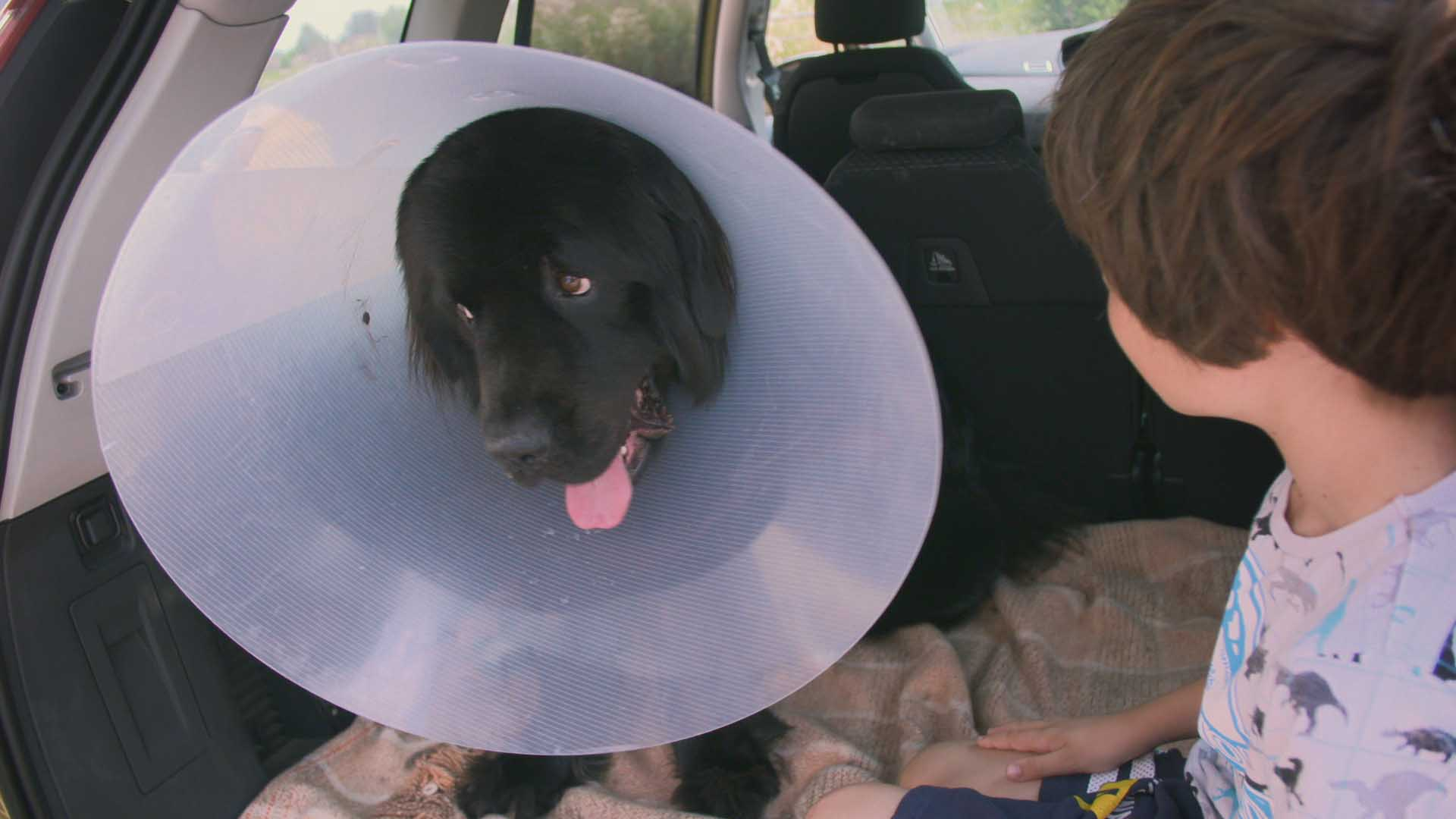 Newfoundland puppy after surgery on The Supervet