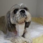 Shih Tzu recovering in wards after spinal surgery