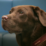 Chocolate Labrador patient Brandi on The Supervet