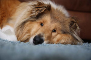 Rough Collie Merida relaxing at home