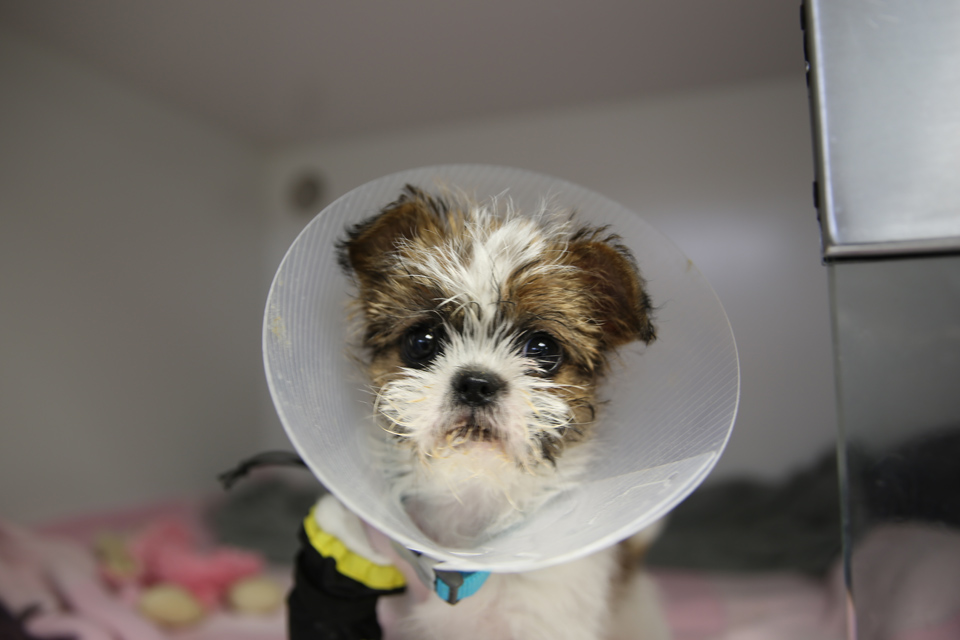 Shih Tzu puppy in a cone at Fitzpatrick Referrals