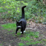 Supervet cat with bionic front paws walking in the woods
