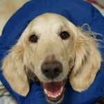 Goldendoodle Angus in his cone