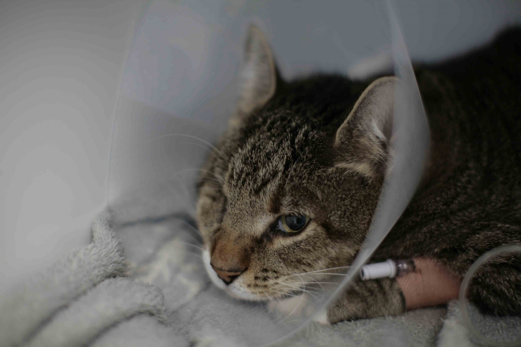Feline patient Driver recovering in his cone