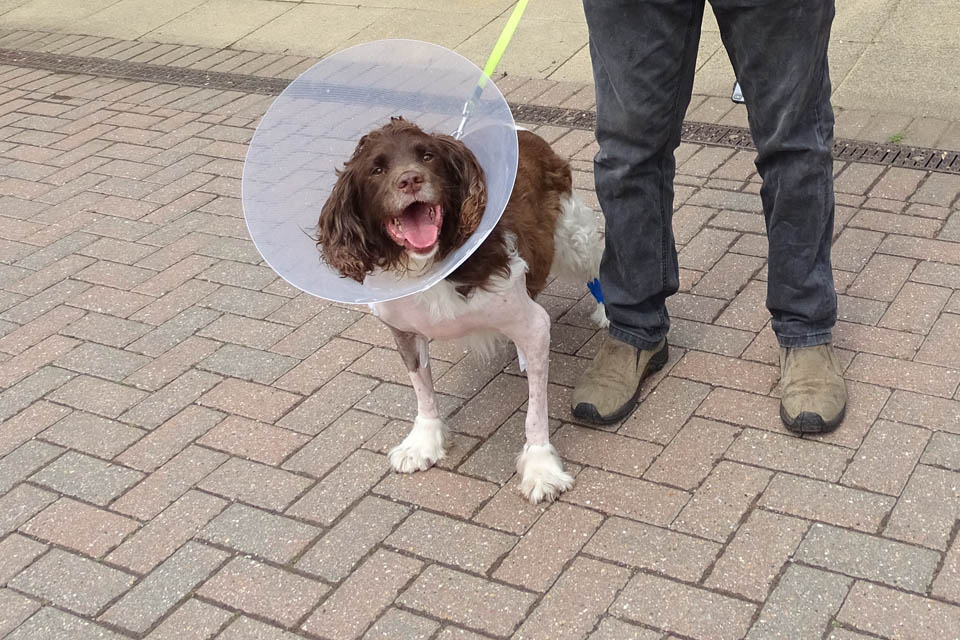English Springer Spaniel Rocky after surgery